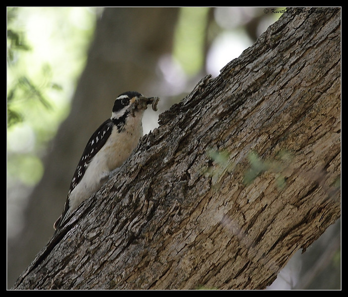 Female Downy Woodpecker with feed, Zion National Park, Utah, May 2010
