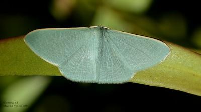 Prasinocyma albicosta