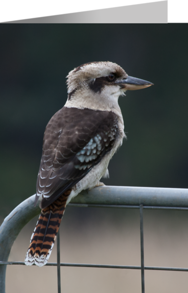 Laughing Kookaburra2.png