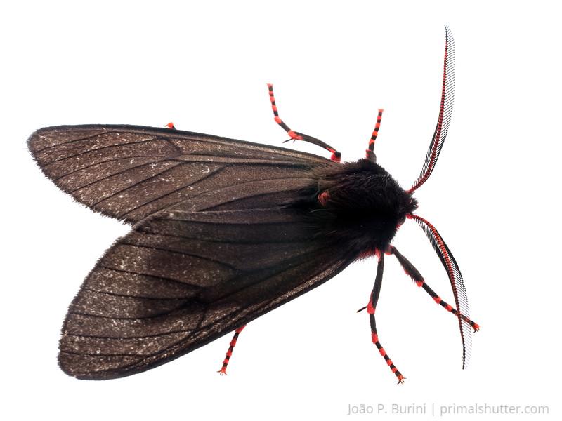 Rarely seen erebid moth, Wanderbiltia wanderbilti Atlantic forest (rock outcrop vegetation) Itatiaia National Park, Itamonte MG, Brazil March 2018
