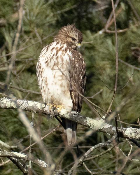 Juvenile Broad Winged Hawk
