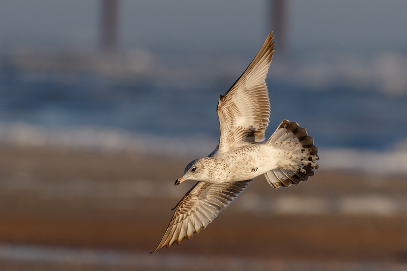Seagull in Flight-1194