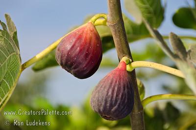 Italian Everbearing Fig - Ficus carica