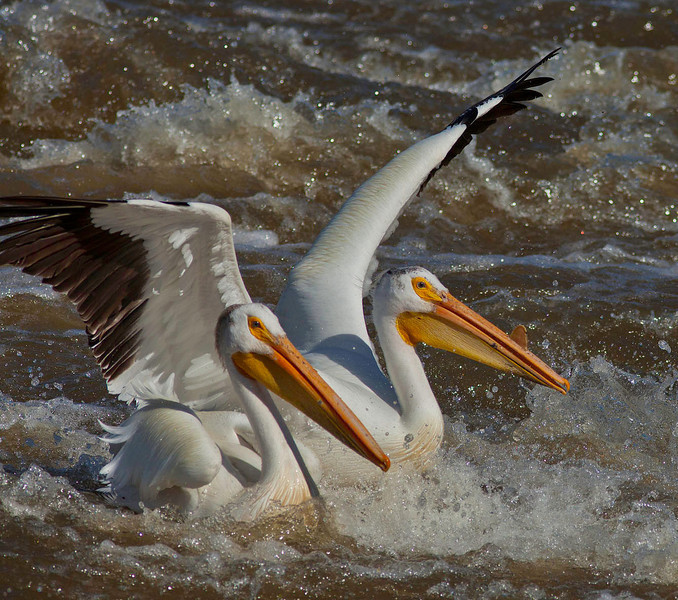 Pair of pelicans splashing in the Mississippi river