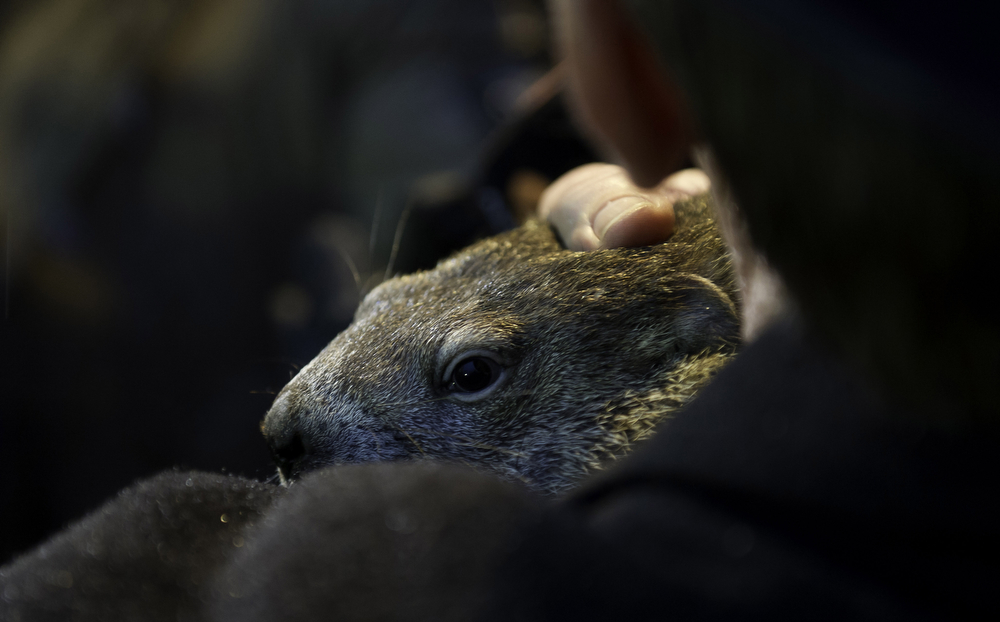 . Groundhog handler Ron Ploucha holds Punxsutawney Phil after he saw his shadow predicting six more weeks of winter during 128th annual Groundhog Day festivities on February 2, 2014 in Punxsutawney, Pennsylvania. (Photo by Jeff Swensen/Getty Images)