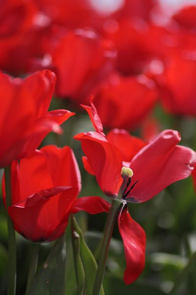 Tulips-2010 27.JPG