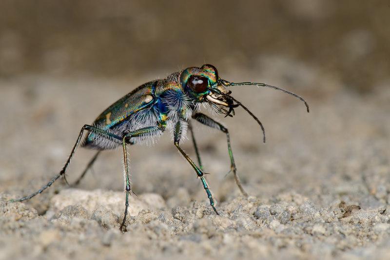 Oregon Tiger Beetle