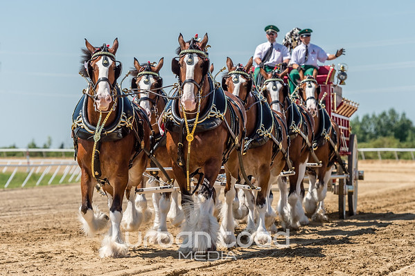 Budweiser Clydesdales 2017