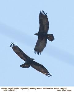 Golden EaglesP63107.jpg