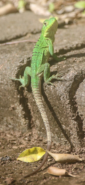 green lizard on a stone