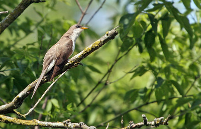 Yellow-billed Cuckcoo at Salt Creek Park