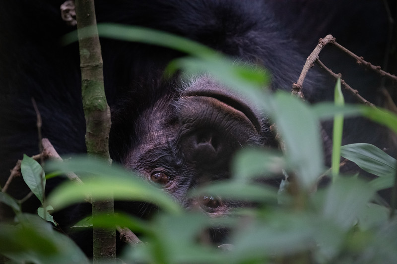 Uganda_T_Chimps-1419.jpg