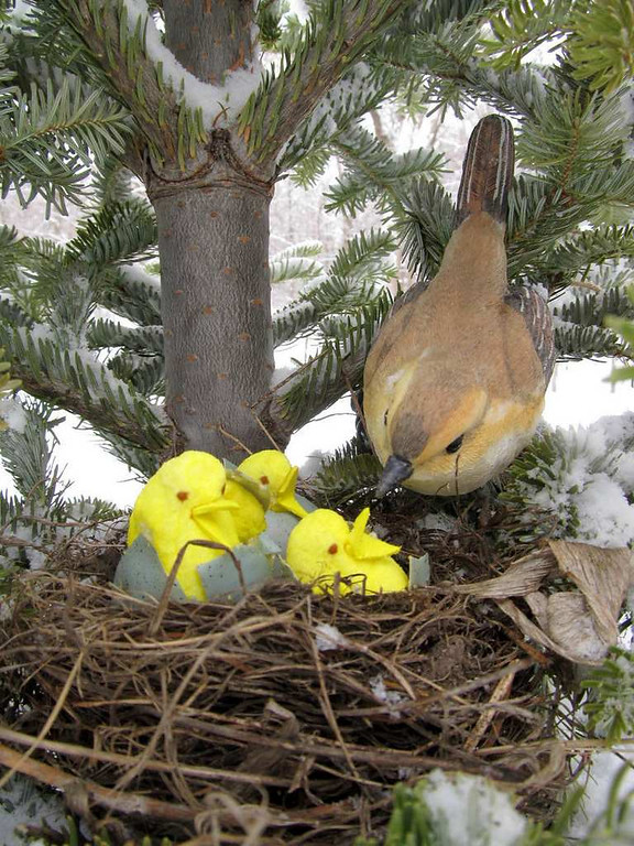 """. \""""Wild Yellow-Breasted Peeps discovered nesting,\"""" by Jane Dierberger"""