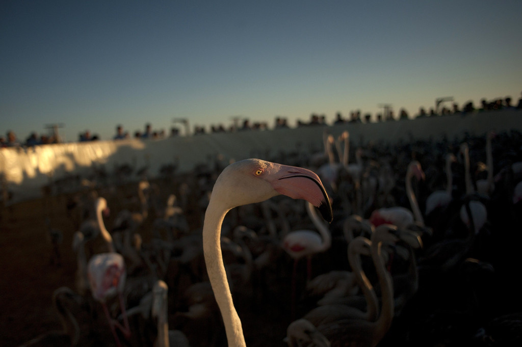 . Flamingos move around a pen at the Fuente de Piedra lake, 70 kilometres from Malaga, on August 10, 2013, during a tagging and control operation of flamingo chicks to monitor the evolution of the species. The lake, which is the most important breeding ground for flamingos in the Iberian Peninsula, is also a nature reserve and a haven for birds with over 170 different species recorded.  Jorge Guerrero/AFP/Getty Images