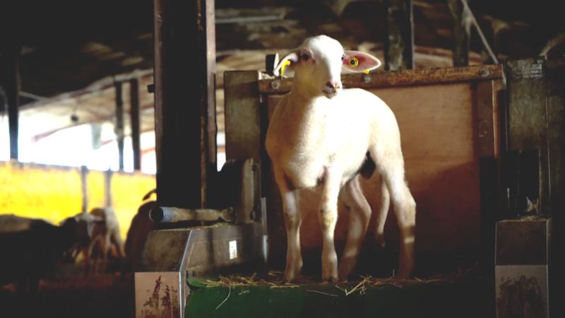 agneau-regard-1.png