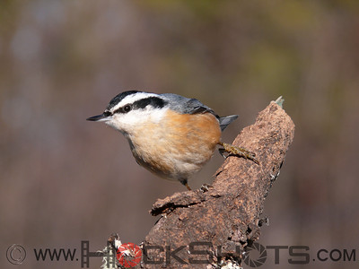 Creepers, Nuthatches & Chickadees