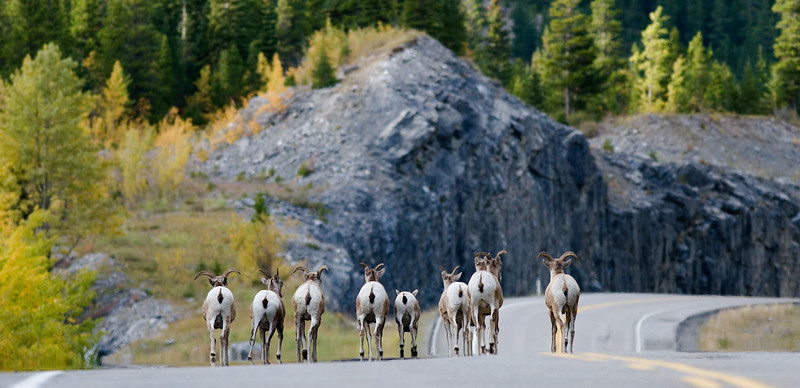 Big Horn Sheep on the road after it rained.  On the road to Glacier NP from Jasper in Alberta Canada.