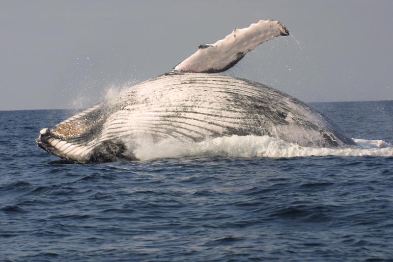 arabian_sea_humpback_whale_breach.jpg