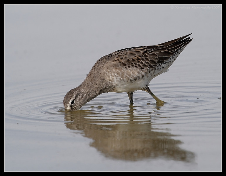 Long-billed Dowitcher, Salton Sea, Imperial County, California, November 2009