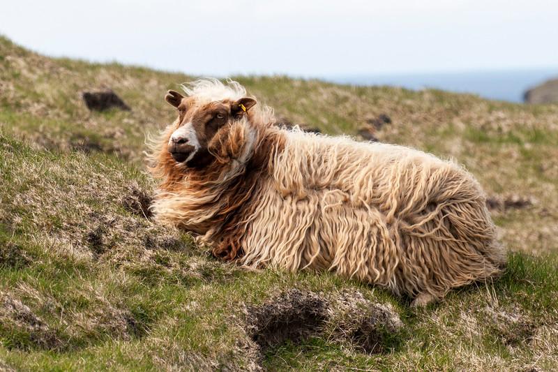 Icelandic Sheep - Westman Islands, Iceland