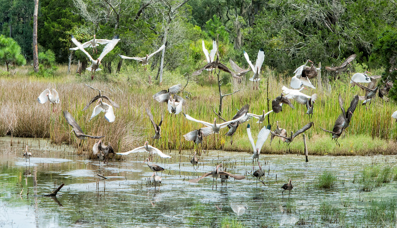 White ibis, Kiawah Island