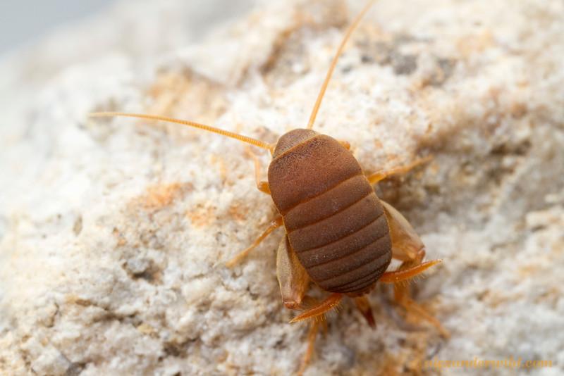 Myrmecophilus pergandei