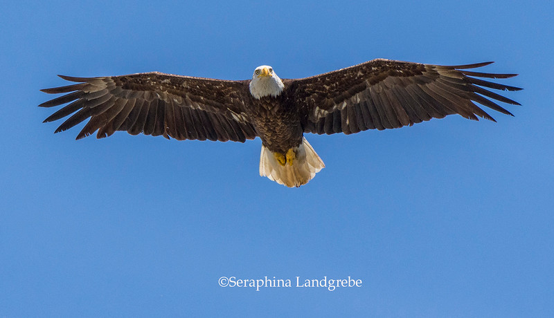 _DSC3617Eagle flight.jpg