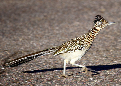 Road Runner if he catches you you're through