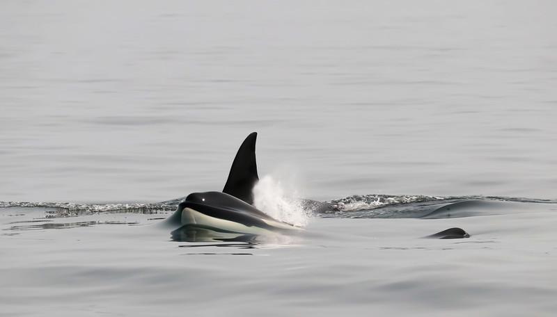Orca: Ocean's Apex Predator