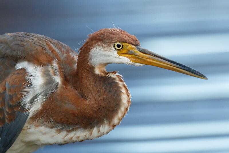 Tri Colored Heron-9106.jpg