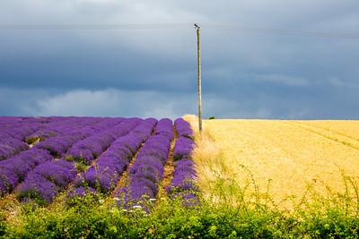 snowshill lavender, cotswolds
