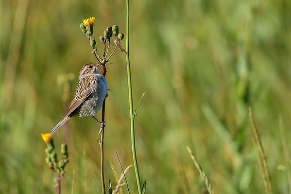 8-19-15 Clay-coloured Sparrow