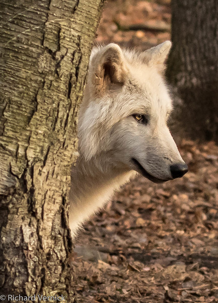 Lakota Wolf 2015