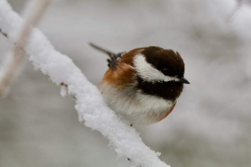 Chestnut-back Chickadee