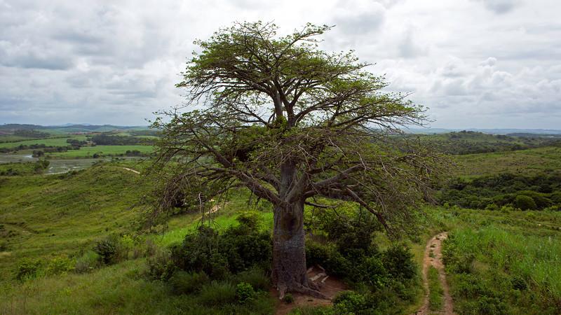 Balboa Tree.jpg