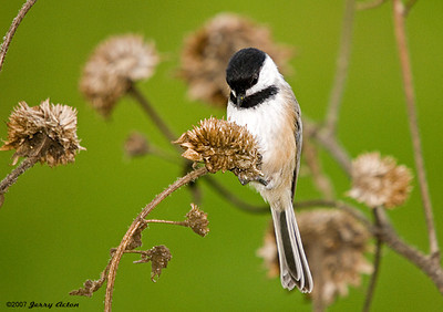 Chickadee Photos - Most Popular