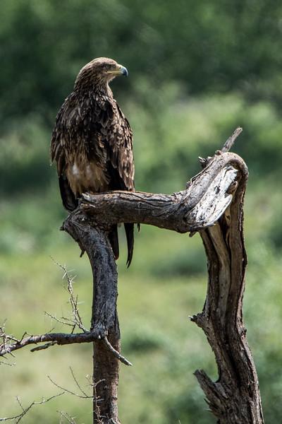 Tawny eagle, Aquila rapax-1.jpg