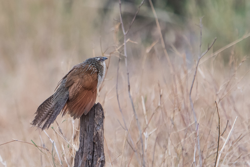 Serengeti National Park white browed coucal-5628.jpg