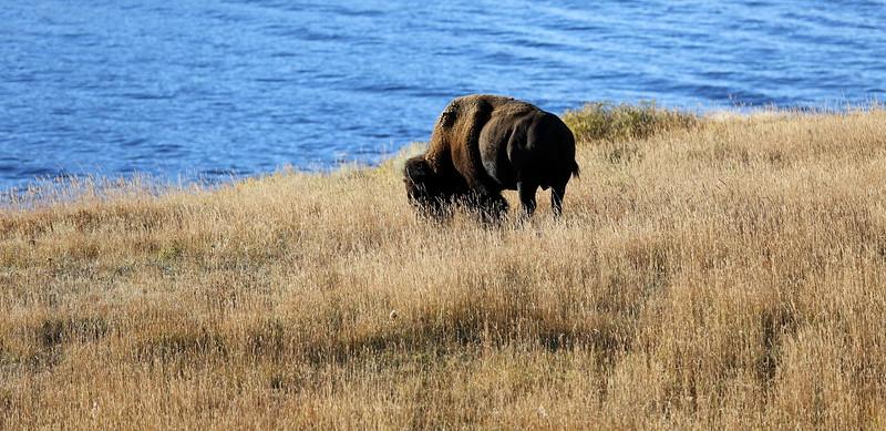 Graham's take on a bison