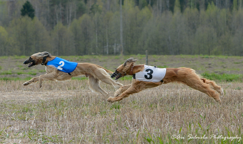 Pack Coursing 2015