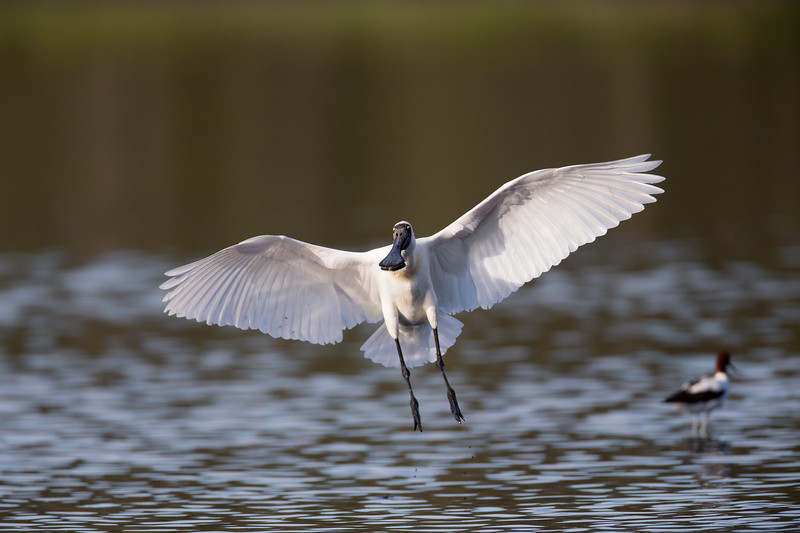 Royal Spoonbill landing