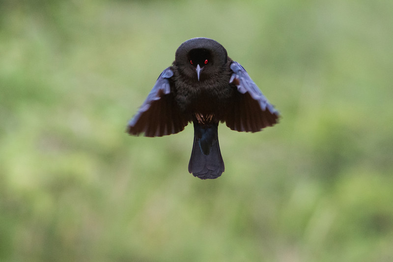 bronze cowbird mating display.jpg