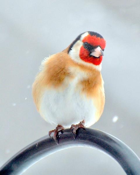 European Goldfinch - Not Native to N. America