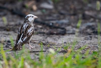 House Sparrow [Passer domesticus]