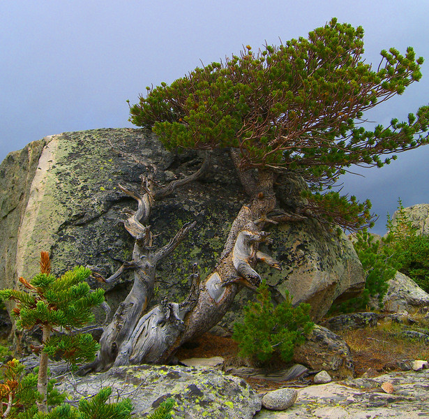 Ancient knarled white bark pine