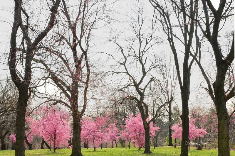 April 10)BranchBrookCherryBlossoms_7556.jpg