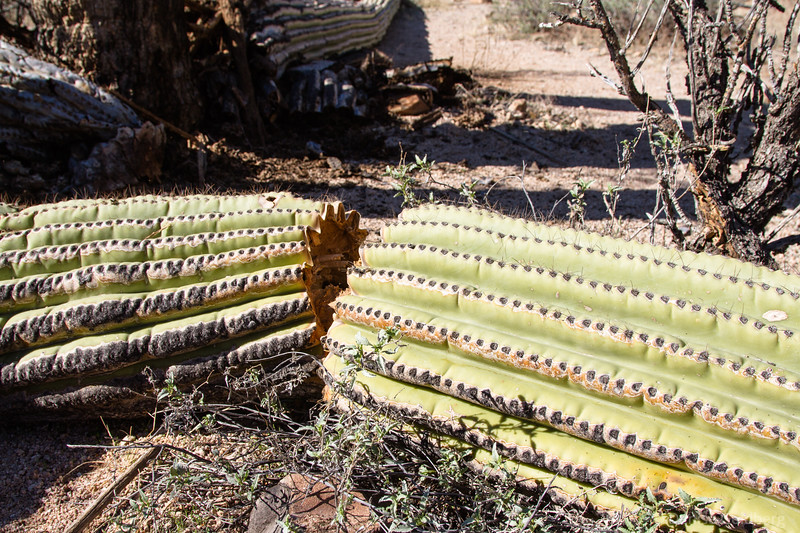 saguaro cactus, end of life