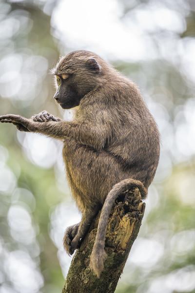 Uganda_T_Chimps-1492.jpg