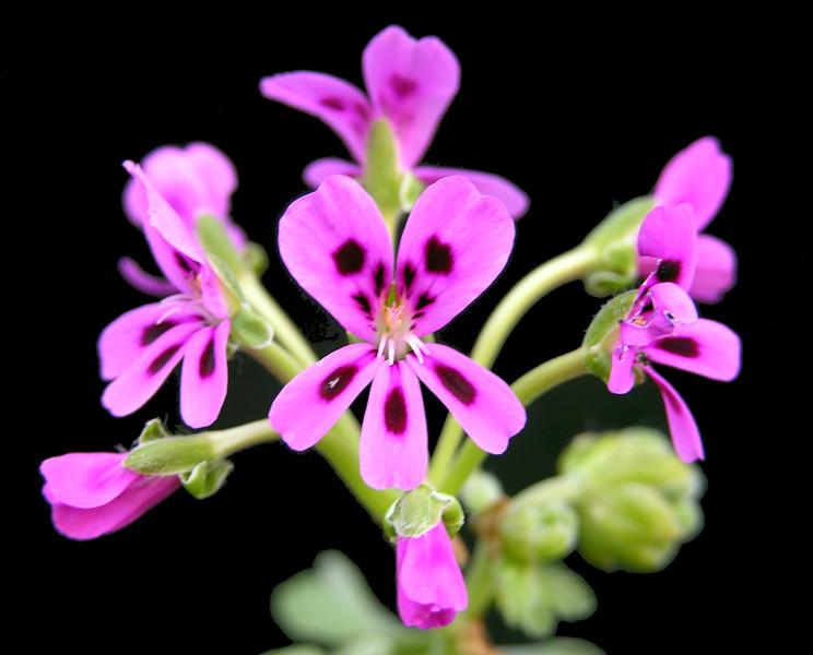 Pelargonium echinatum ex Robin Parer Flowers