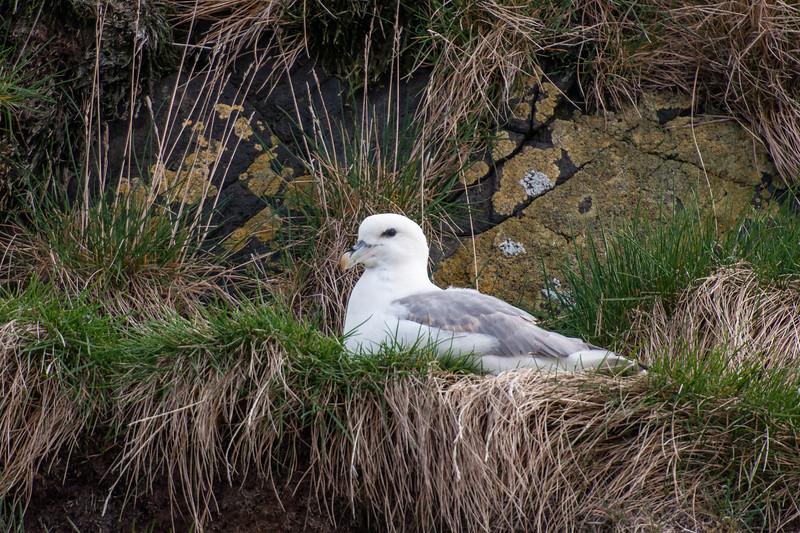 Northern Fulmar on nest - Breiðafjörður Islands - Iceland